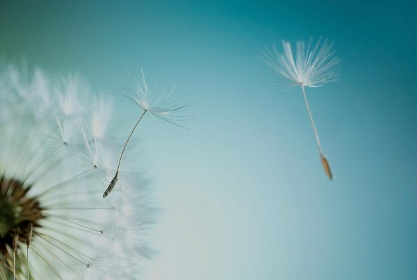 The Universal Soul Company header Image - Dandelion with tint overlay